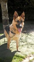 Fauvette, chien Berger allemand