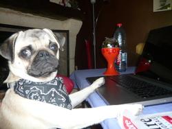 Fax, chien Carlin