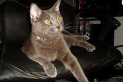 Fax, chat Chartreux