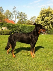 Fay, chien Beauceron