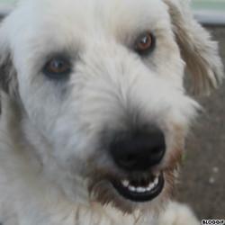 Faya, chien Berger des Pyrénées