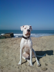 Faya, chien Dogue argentin