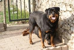 Faya Du Domaine De La Rêverie, chien Rottweiler