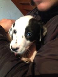 Fayce, chien Dalmatien