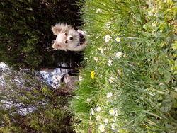 Fayot, chien Chihuahua