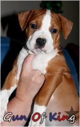 Gun Of King, chien American Staffordshire Terrier
