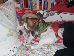 Youki, chien Jack Russell Terrier