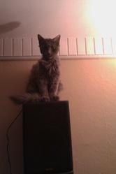 Grincheux, chat Gouttière