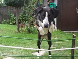 Belle, chien Border Collie
