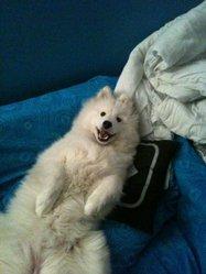 Flaya, chien Samoyède