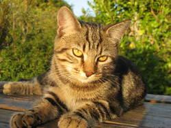 Fulki, chat Européen