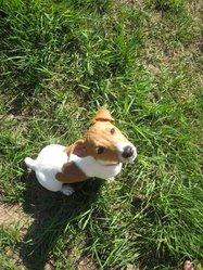Gaya, chien Jack Russell Terrier