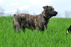 Maki, chien Cão fila de São Miguel