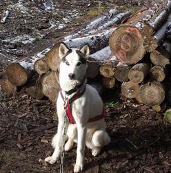 Noochka, chien Husky sibérien