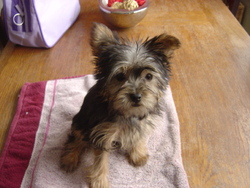Girly, chien Yorkshire Terrier