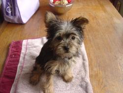 Girly, chien Yorkshire Terrier