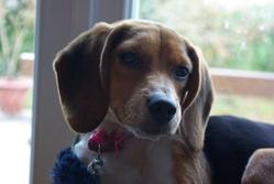 Delfie, chien Beagle
