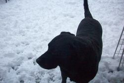Alf, chien Labrador Retriever