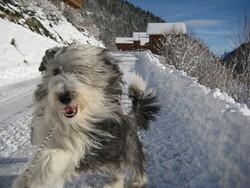 Celeste, chien Bearded Collie