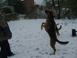 Balou, chien Berger belge