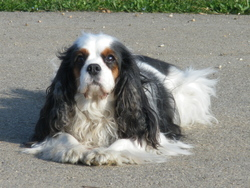Tennesy, chien Cavalier King Charles Spaniel