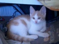 Minou, chat Angora turc