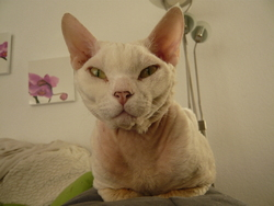 Elboy, chat Devon Rex