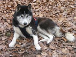 C' Shaman, chien Chien du Groenland