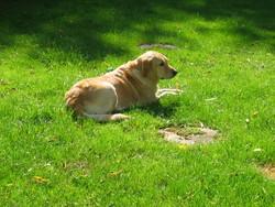 Kanel, chien Golden Retriever
