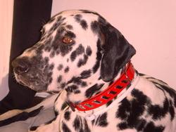 Chopper, chien Dalmatien
