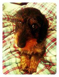 Einstein, chien Teckel