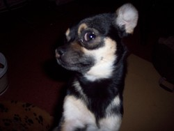 Bigoo-Dy, chien Chihuahua