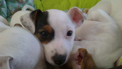 Pupuce, chien Jack Russell Terrier