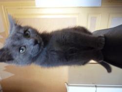 Boubi, chat Chartreux