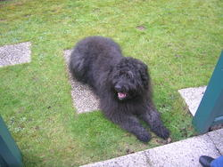 Oebi, chien Bouvier des Flandres