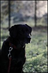 Rama, chien Labrador Retriever