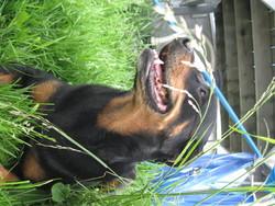 Prada, chien Rottweiler