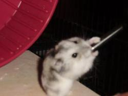 Too Meny, rongeur Hamster