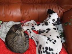 Knack, chien Dalmatien
