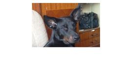 Dino, chien Beauceron
