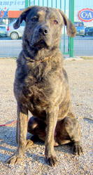 Capone, chien Cão fila de São Miguel