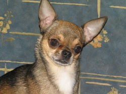 Chico , chien Chihuahua