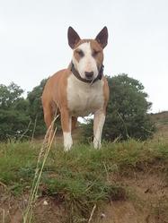 Blade, chien Bull Terrier