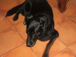 Maya , chien Labrador Retriever