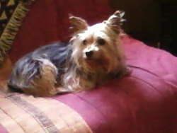 Qleo, chien Yorkshire Terrier