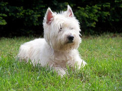 Clim, chien West Highland White Terrier