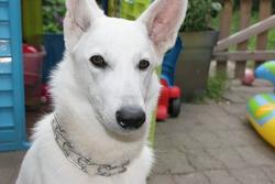 Falba, chien Berger blanc suisse