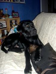 Aldo, chien Labrador Retriever