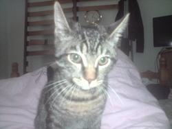 Mistigrie, chat Gouttière