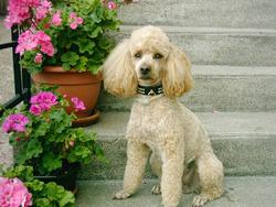 Utie, chien Caniche